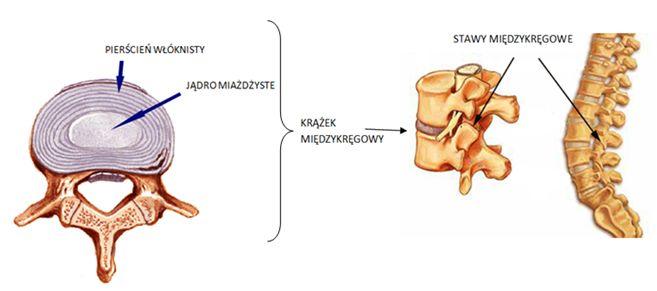 Krążek międzykręgowy - bóle kręgosłupa